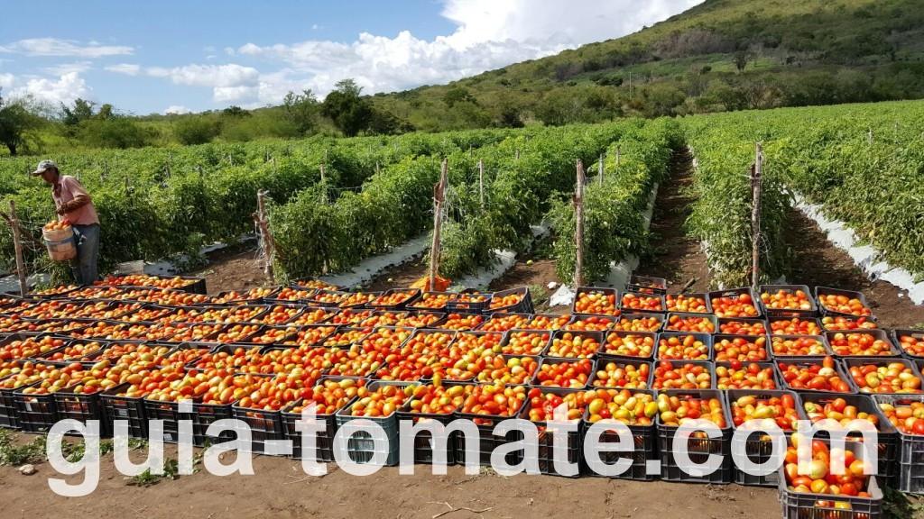 Cosecha de tomates cultivados con sistema de soporte de malla plástica HORTOMALLAS en campo abierto