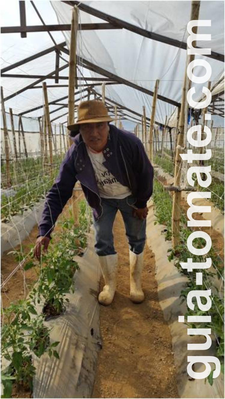 Cultivo de tomate en invernadero con sistema de espalderas plásticas HORTOMALLAS en lugar de soporte con rafia