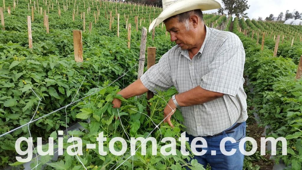 Detalle de la instalación de la doble malla espaldera en un cultivo de tomate en campo abierto con HORTOMALLAS