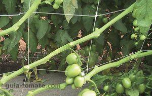 malla tutora usada en cultivos de tomate como guia de tomate